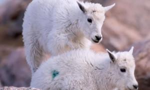Расстрелянные козы: животных пометили пейнтбольными ружьями