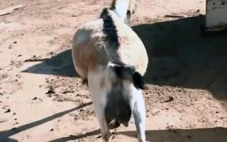 Тимпания у коз – лечение и профилактика вздутия живота