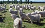 Ангорская порода коз – как получить лучшую шерсть?