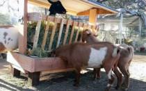 Кормушки для коз – схемы, чертежи, советы