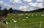Содержание козы на пастбище – особенности выпаса