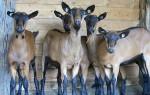 Описание чешской породы коз