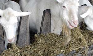 Кормление коз в разные периоды беременности