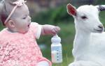 Козье молоко детям — возраст прикорма