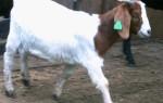Описание бурской породы коз