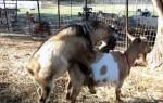 Как покрыть козу если пришла в охоту