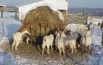 Как правильно кормить козу в зимний период?
