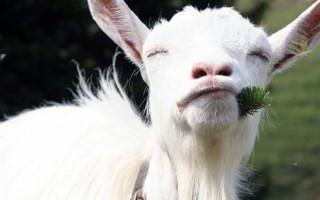 Пороки молока коз: соленое, горчит, плохой запах