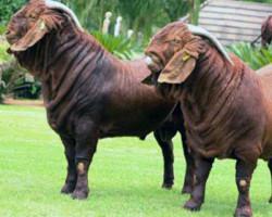 Породы коз мясного направления