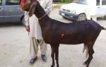 Порода Шами – фото и характеристика дамасской козы
