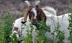 Как организовать кормление козы после козления?