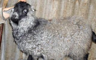 Пуховые породы коз