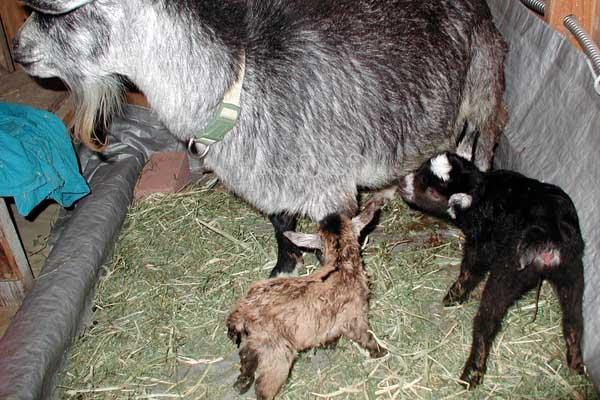 Чем и как кормят 2 месячных козлят