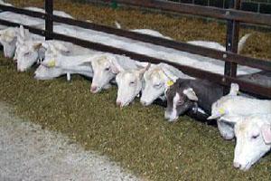 Рацион окотившейся козе