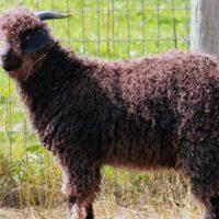 Окраска шерсти у козы