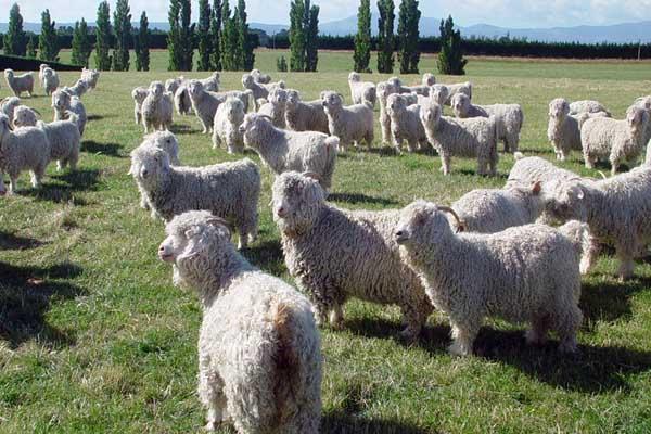 Пастбищное содержание ангорских коз