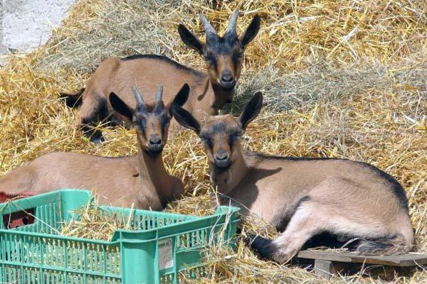 Содержание чешских коз на подстилке