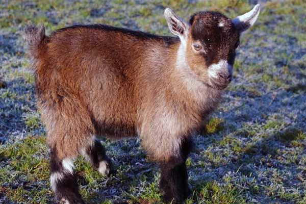 Разведенеи камерунских коз