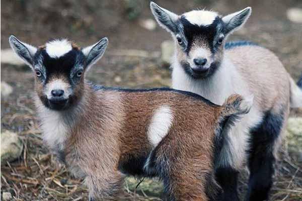 Молодняк камерунских коз