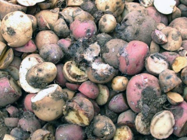 Картофель для козы