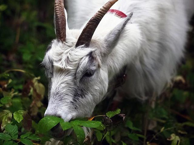 Сорняки для козы