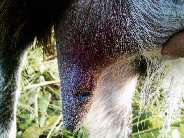 Рваный сосок у козы