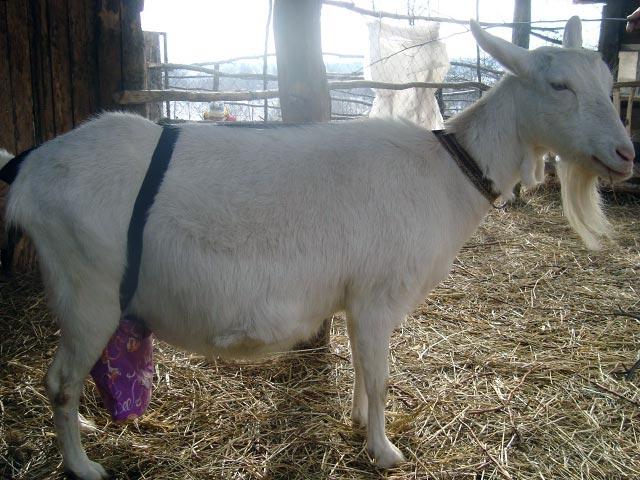 Бондаж на вымени у козы