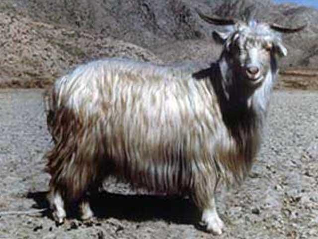 Коза каганской порды