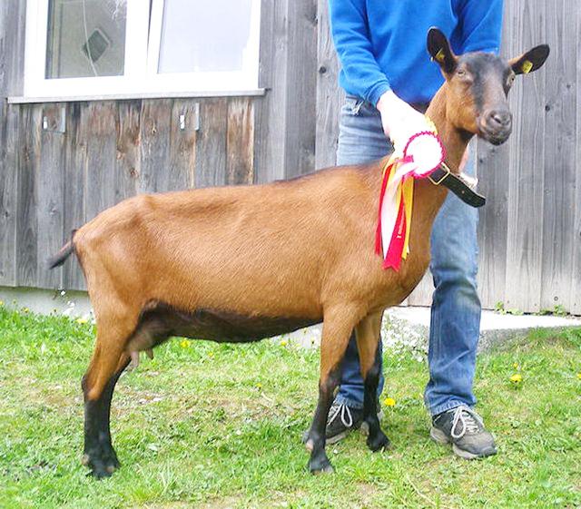 Коза-чемпионка