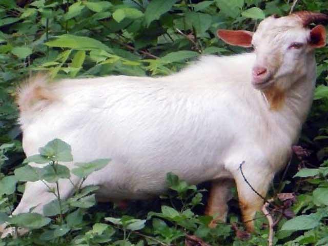 мясная порода коз Ассам-хил