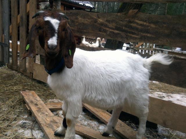 Порода коз серые