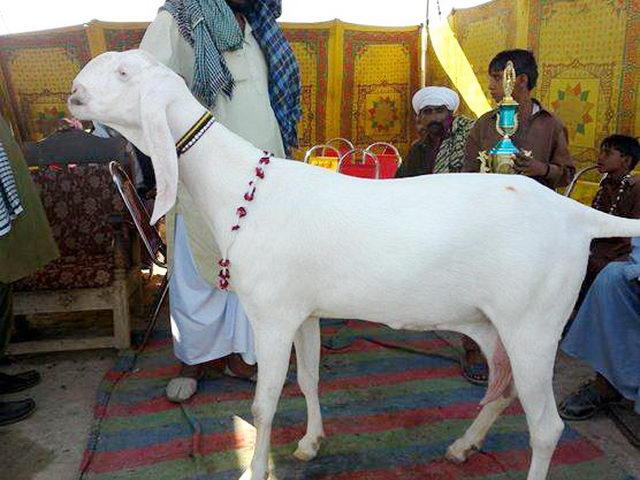 дамасская коза белой масти