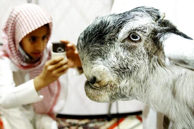 выставка дамасских коз