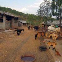 Дуанская порода коз