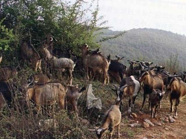 Дуанские козы