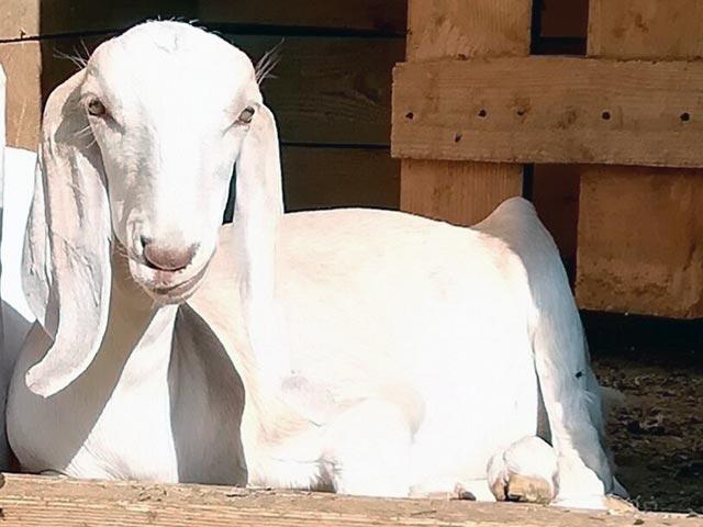 коза породы гулаби