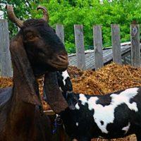Рога у козы