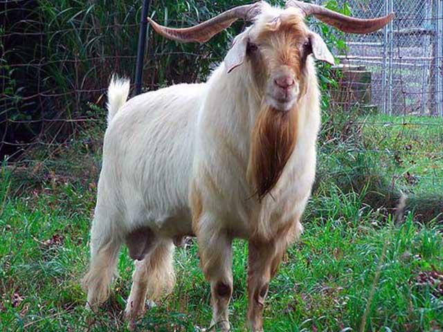 Порода коз Кико