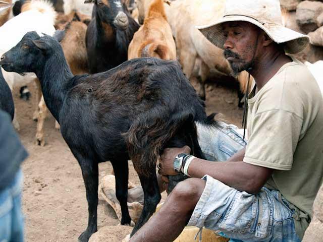 Доение криольской козы