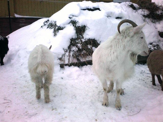 русская коза