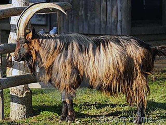 Порода коз Штифельгейсс