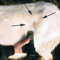 лечение тимпании у козы