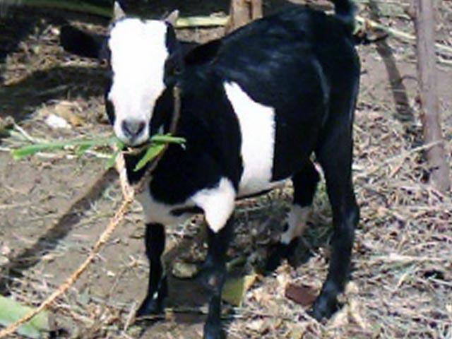 Мясные козы восточной Африки