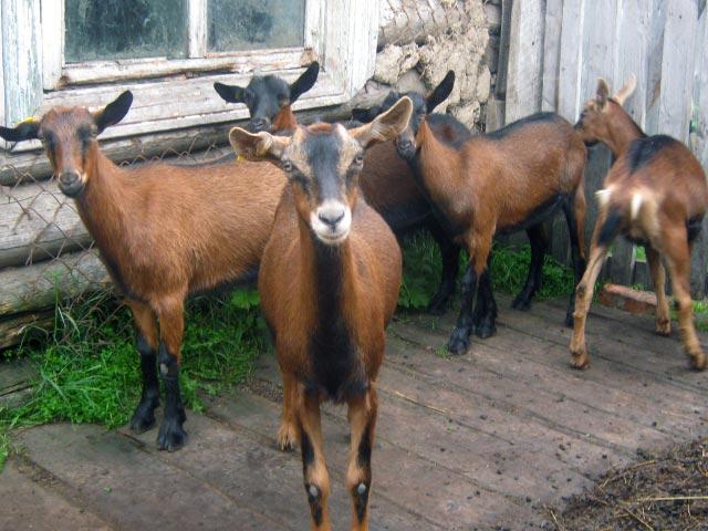 Молочные козы альпийской породы
