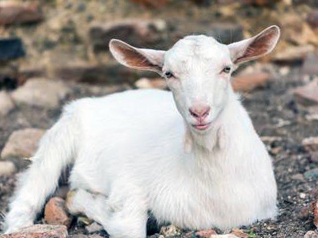 Молочные козы кампине