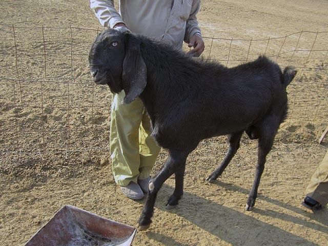 Молочные козы породы битал