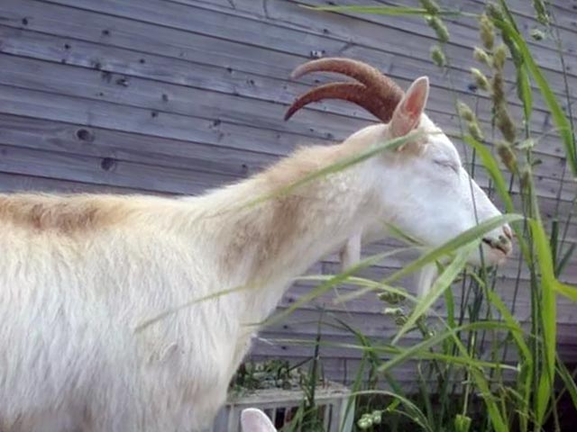 Коза горьковской породы