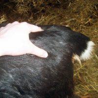 Проверка приближения окота у козы