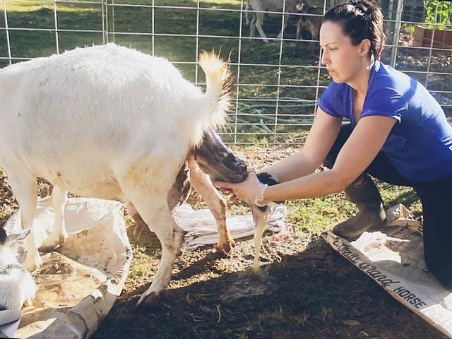 Помощь козе при родах