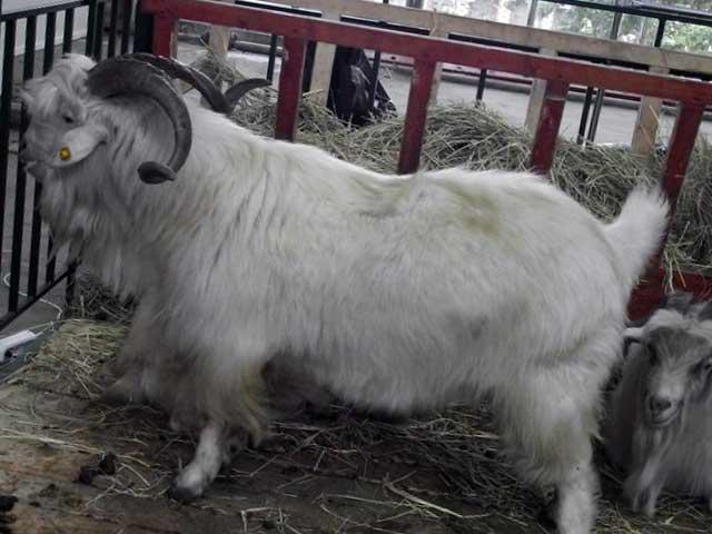 Оренбургский козел белой масти